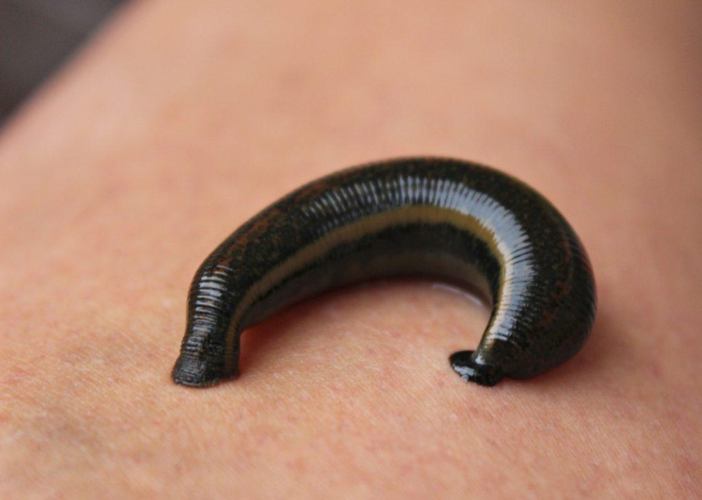 Blutegel TCM Aderlass Tier Wurm